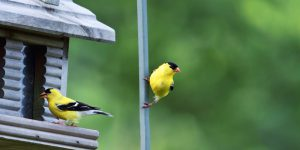 American Finches