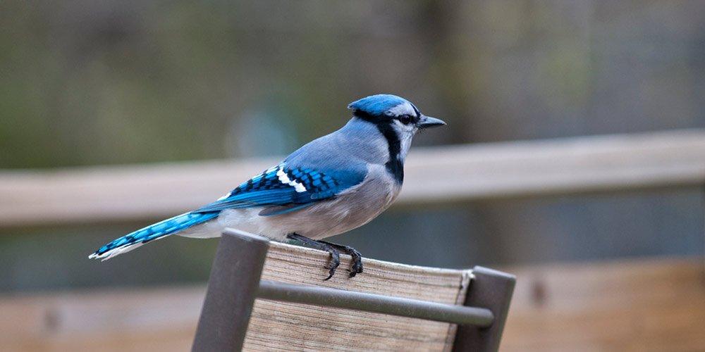 Blue Jay In Backyard