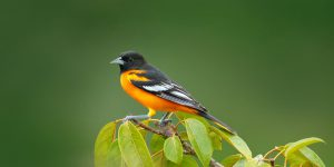 Best Oriole Bird Feeders To Attract Orioles