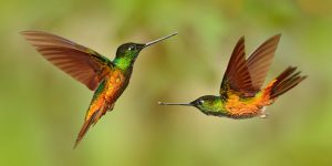 hummingbird pair