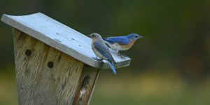 best bluebird houses