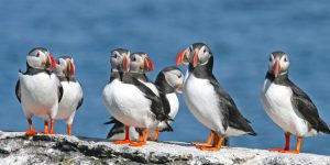 live puffins cams