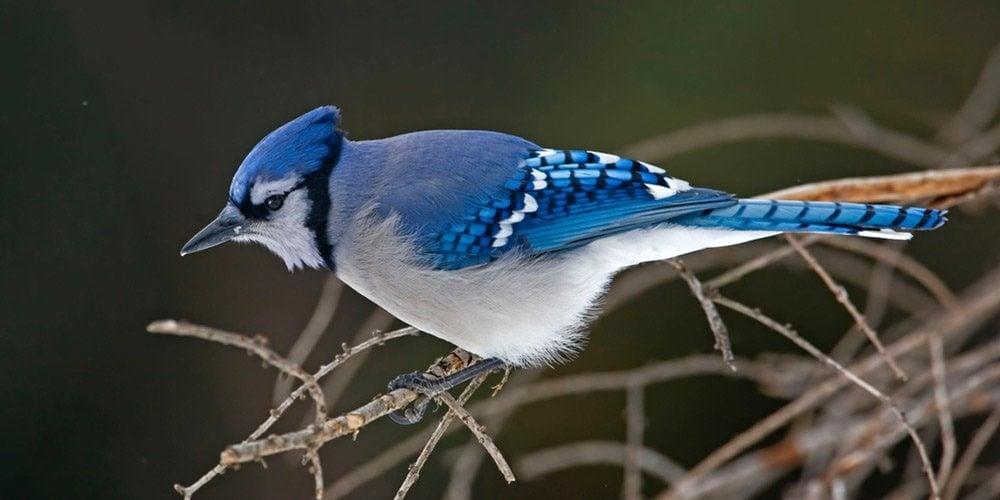 Blue Jays Birds