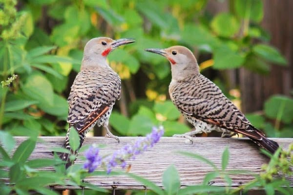 Northern Flicker Woodpecker