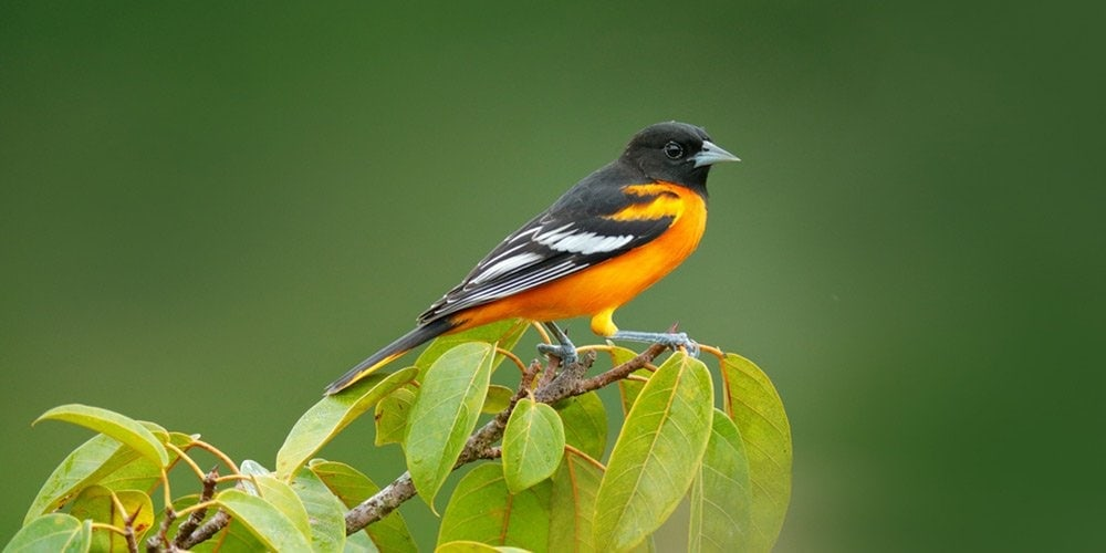 Orioles Birds Information