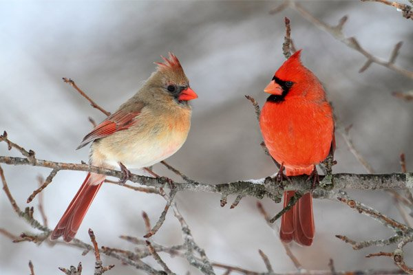 cardinal pair in the snow