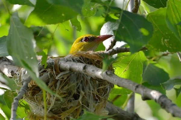 oriole in nest