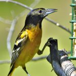 Best Suet Bird Feeders