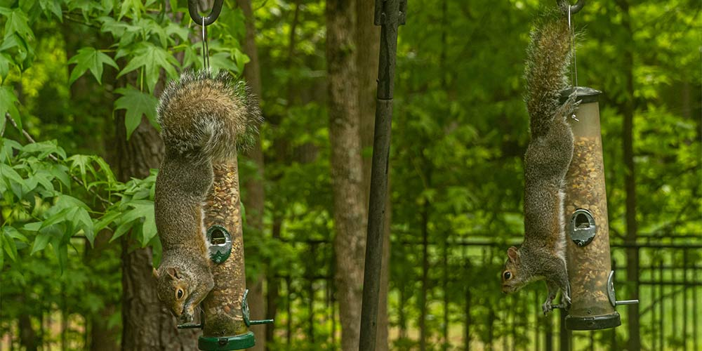 squirrels attacking bird feeders