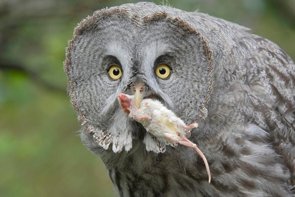 Owl Eating Mouse