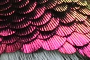 Ruby-Throated Hummingbird Feathers Up Close