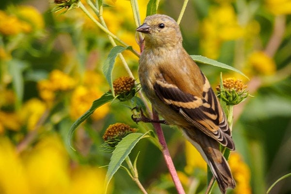 American Goldfinch in Fall