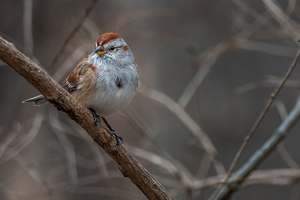American Tree Sparrow on a branch
