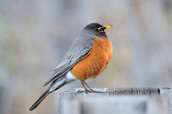 Red Robin In Winter