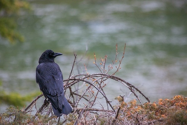American Crow by river
