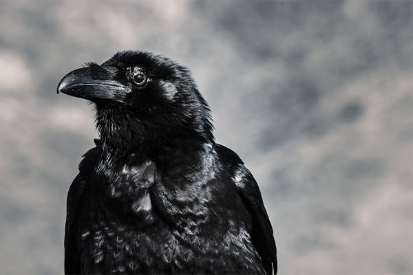 American Crow close-up view