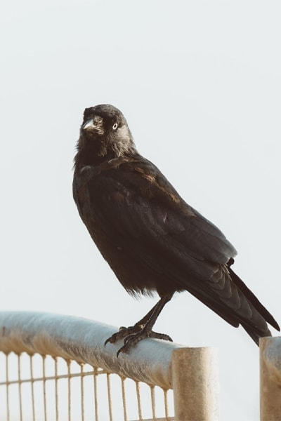 American Crow perched