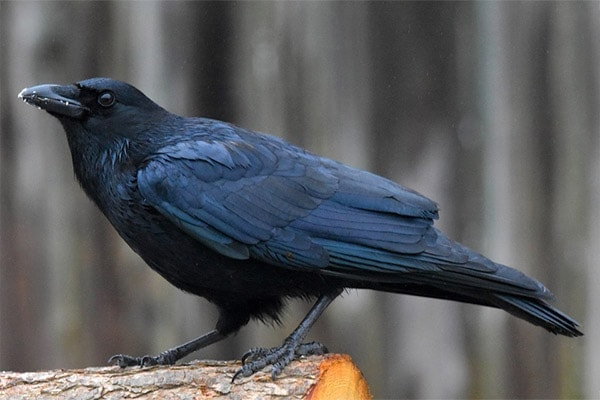 American Crow side-view