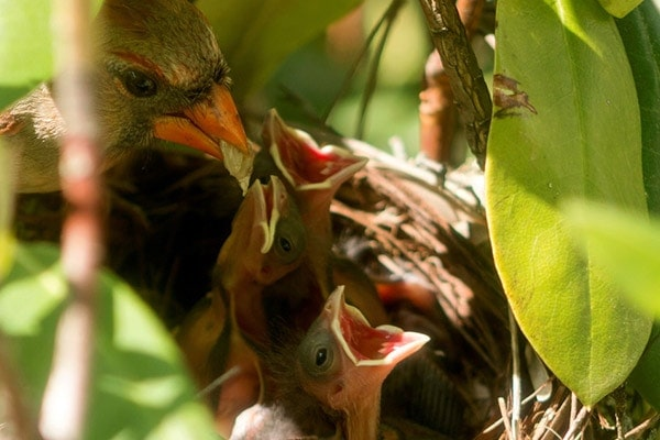 Baby cardinals being fed in nest