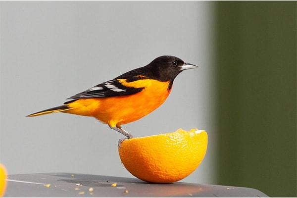 Baltimore Oriole eating