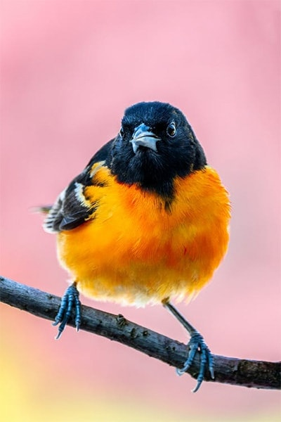 Baltimore Oriole front view