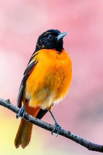 Baltimore Oriole side view