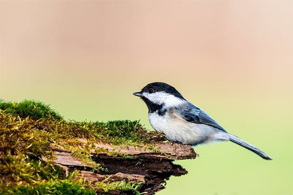 Black-Capped Chickadee Sideview