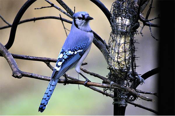 Blue Jay on branch in winter