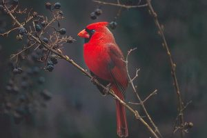 Cardinal in backyard on blueberry bush