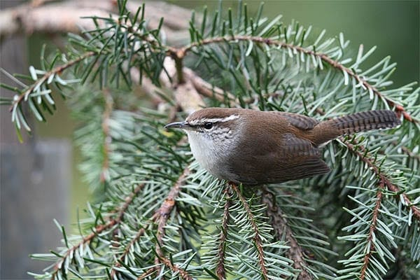 Carolina Wren Perched In Pine Tree