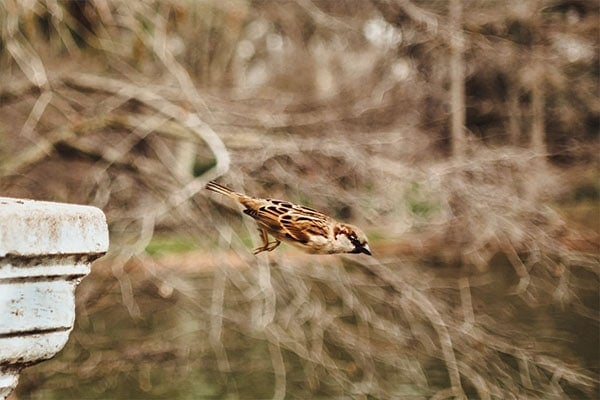 Chipping Sparrow Flying