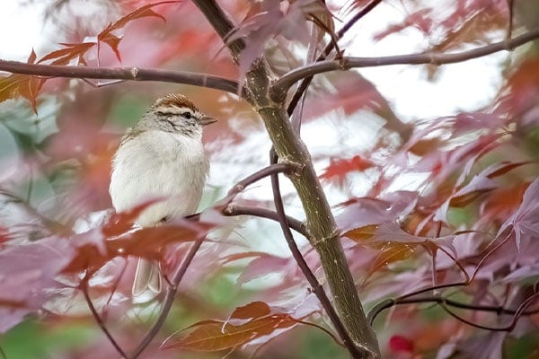 Chipping Sparrow In Maple Tree