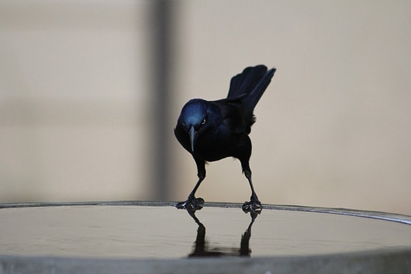 Common Grackle frontview