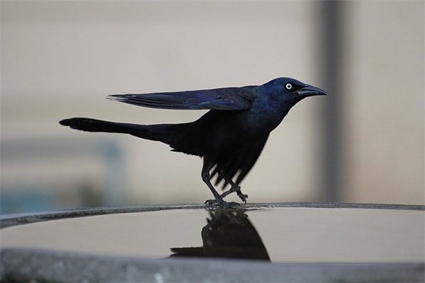 Common Grackle sideview