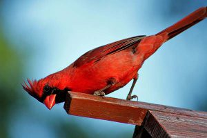 Do Cardinals Use Birdhouses
