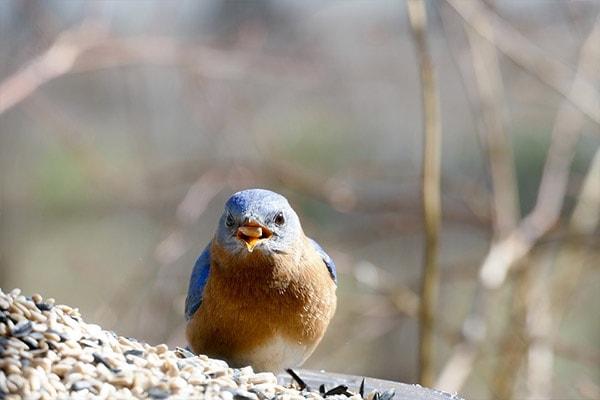 Eastern Bluebird eating