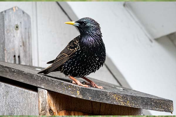 European Starling side view