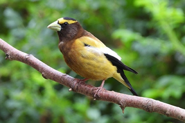 Evening Grosbeak close-up view
