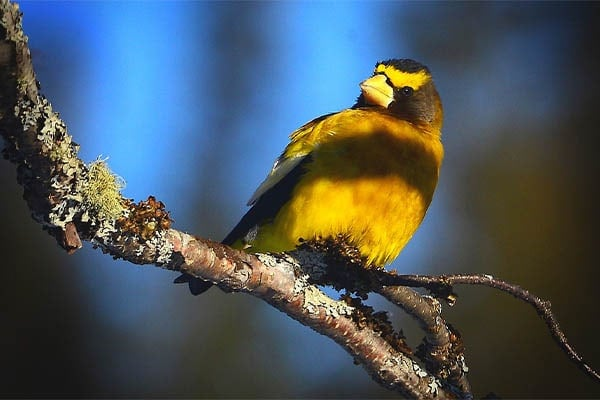 Evening Grosbeak perched in tree