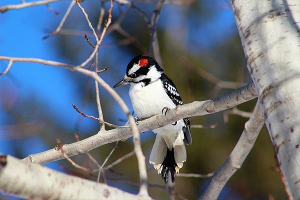 Hairy Woodpecker perched