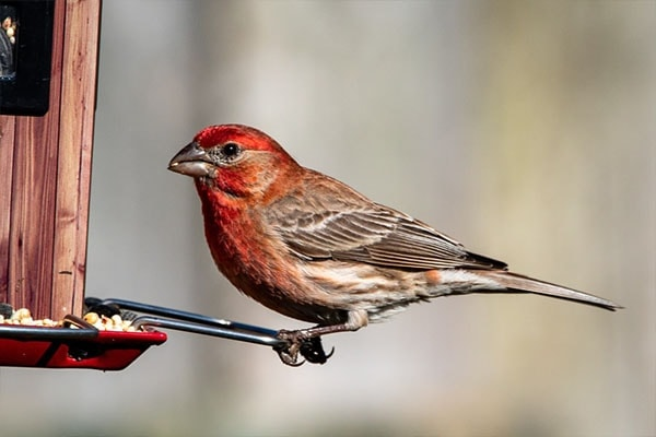 House Finch eating