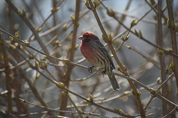 House Finch in spring