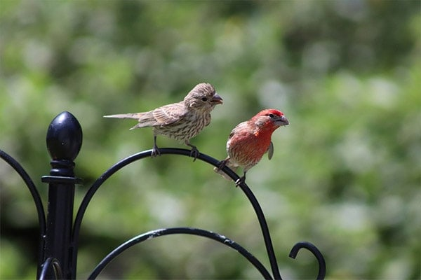 House Finch male and female
