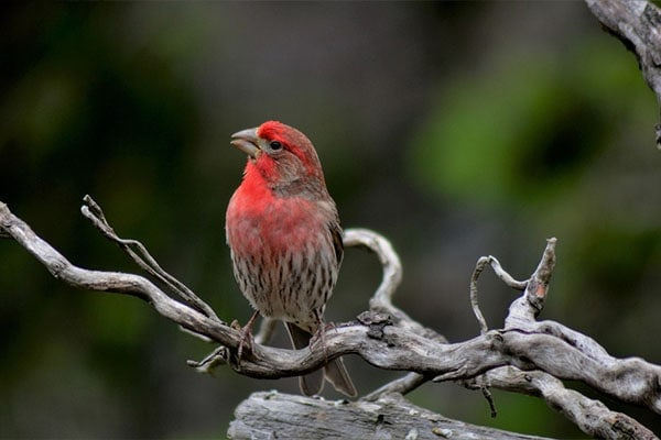 House Finch singing