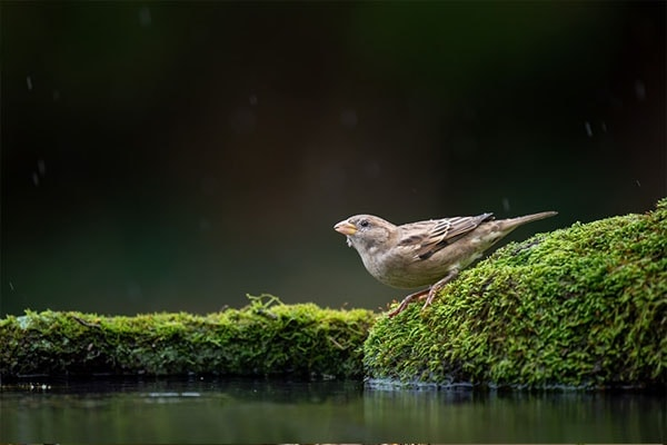 House Sparrow drinking water