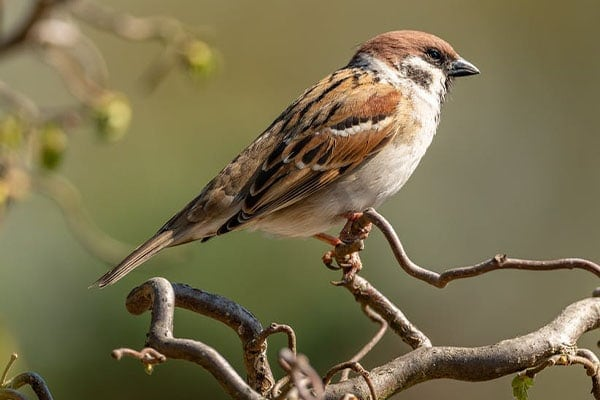 House Sparrow perched