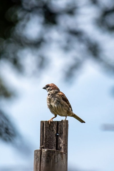 House Sparrow side view