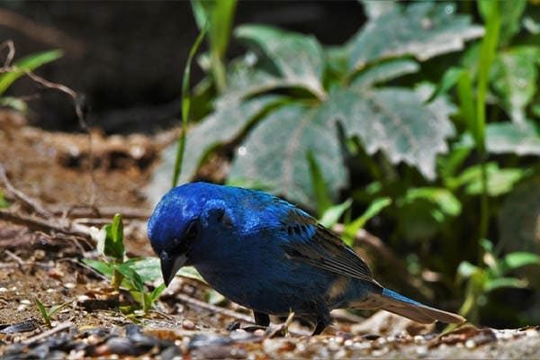 Indigo Bunting searching for insects