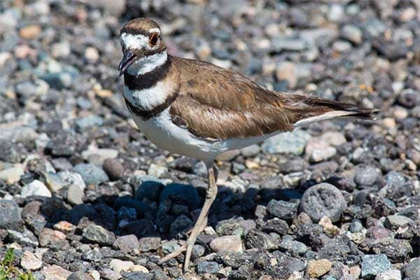 Killdeer searching for insects