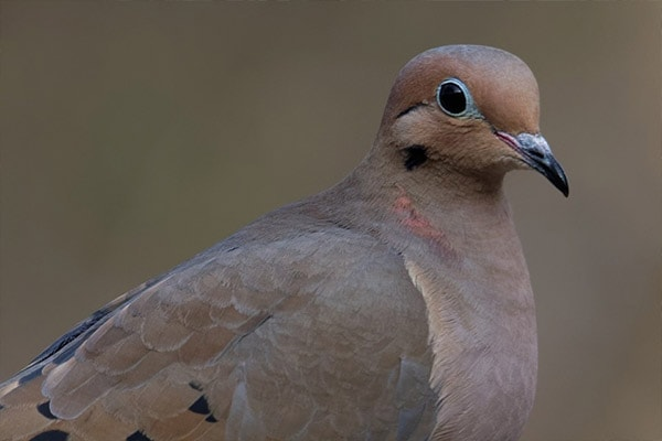 Mourning Dove close-up view